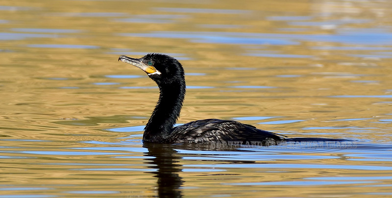 Cormorant, Neotropic. Maricopa County, Arizona. #1213.852.