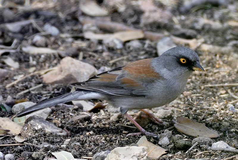 Yellow-eyed Junco 2018.4.8#1446. Madera Canyon, Arizona.