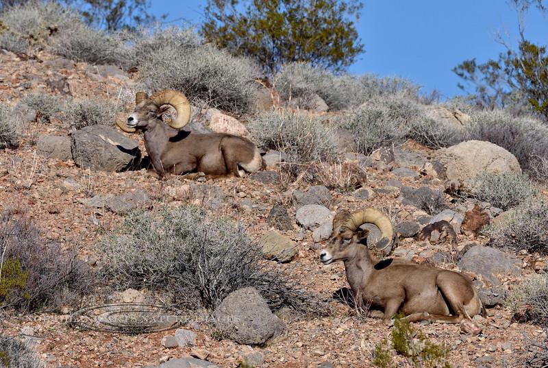 Desert Bighorn rams 2019.1.18#1278. Lake Mead Nevada.