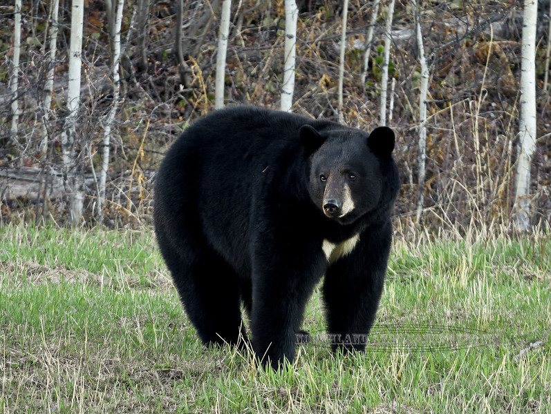 Bear, Black. With a beautiful white blaze on it's chest not occuring on all bears. Alaska Highway. #515.438.