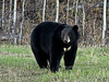 BB-Bear, Black. With a beautiful symmetrical white blaze on it's chest that doesn't occur on many bears. Alaska Highway. #515.438.