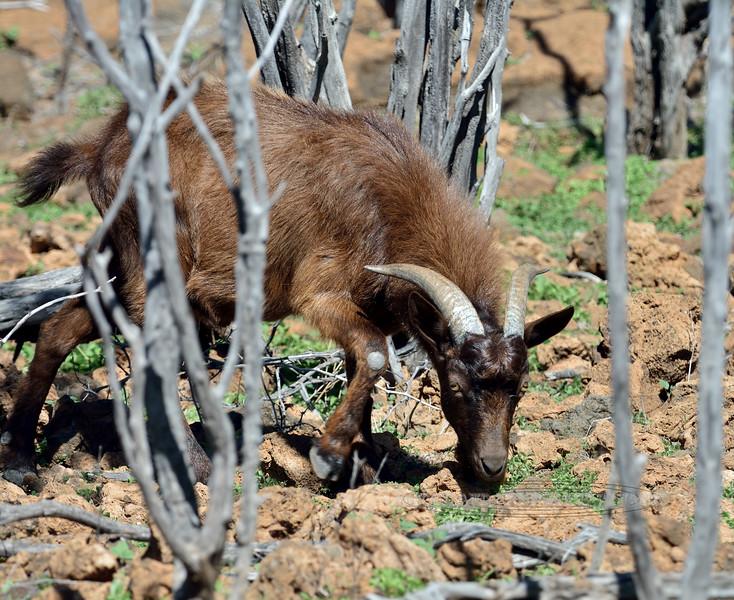 "2015.2.4#250.2. A Wild Hawaiian Goat. In woods near Kiholo Bay, on the south shore of the ""Big Island"" of Hawaii."