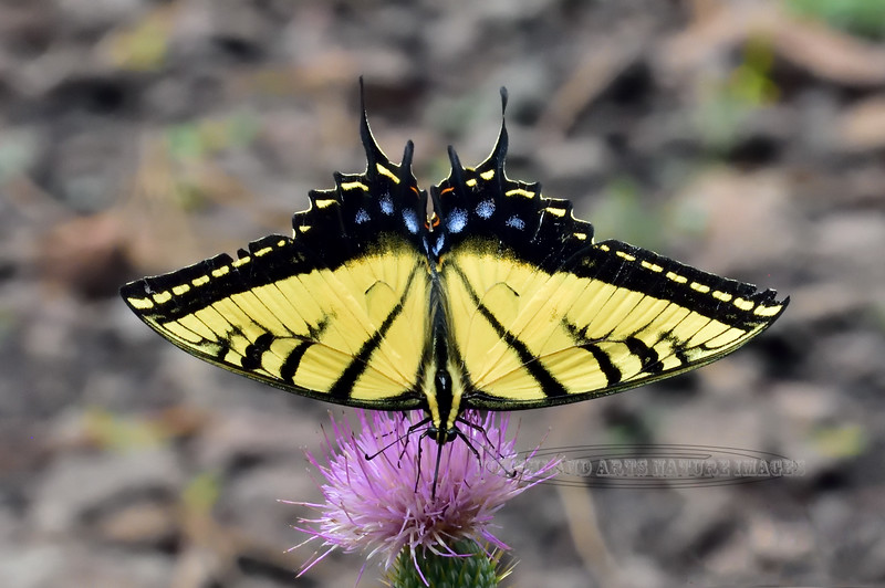 2020.7.25#2132.2X. A Two tailed Swallowtail nectering on a Wheeler's Thistle. Mingus Mountain in the Black Hills Arizona.
