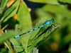 Damselfly, Northern Bluet. Seward Alaska. #718.716.
