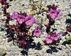 Bigelow's Monkeyflower. 2020.4.21#8098.3. Mimulus Bigelovii. Newberry Mountains Nevada.
