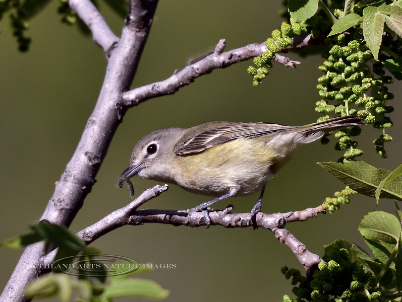 Cassin's Vireo 2018.4.28#184. Mingus Mountain, Arizona.