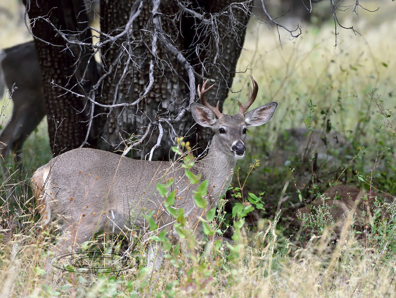 Coues Deer 2018.10.8#1436. Coues Whitetail buck. Arizona.