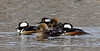 Hooded Merganser 2019.1.5#245. Yavapai Lake, Prescott Valley Arizona.