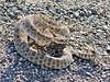Prairie Rattlesnake 2018.7.6#4744. Eastern Wyoming.