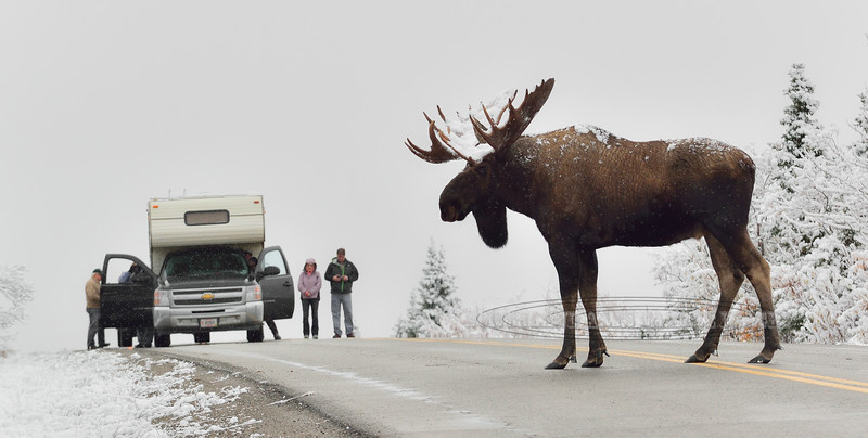 Moose. A Grand old bull stops traffic in Denali Nat. Park, Alaska. #916.208. 1x2 ratio format.