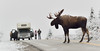 A Grand Old bull stops traffic in Denali. 2015.9.16#208. One of those times when things come together. Lucky enough to capture this great bull but also to have my friend Bill from Maine show up with his family so I could create this image only made it better. Savage country, Denali Park Alaska.