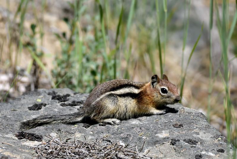 Golden Mantled Ground Squirrel 2018.7.2#481. Near Como Lake, Bitteroot Mountains Montana.
