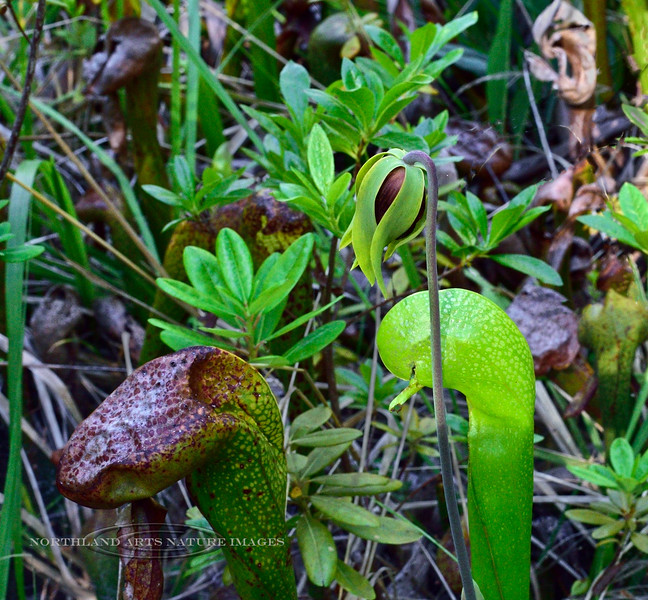 2021.6.20#8607.4. A blooming Darlingtonia california, California Pitcher Plant. Botanical Trail in the Jedediah Smith Redwood State Park, CA.