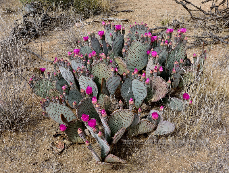The Beavertail Prickly Pear Cactus 2018.4.19#020. Opuntia basilaris. South of Yarnell Mountain, Arizona.