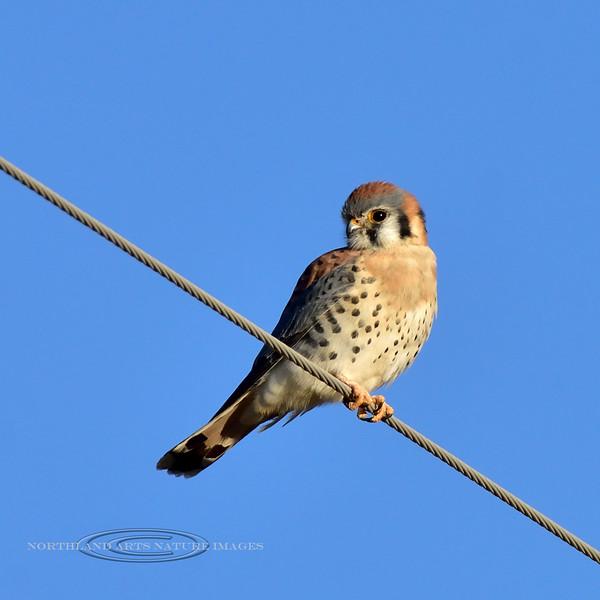 Sparrow Hawk 2018.11.21#369. Now called Kestrel. Rt181, Arizona.