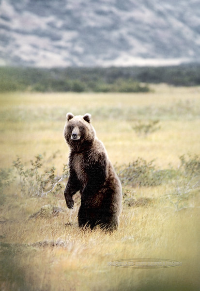 A souvenier image. I arrived in Alaska in the late 70's and got to shoot lots of Grizzly's in Denali and other parts of the Alaska Range and Arctic, but this was the first Brown Bear I got to photograph. 1987.10.19#004. Alaska Peninsula north of Cold Bay Alaska. One from the old days. See many more Brown Bears in the Large Mammal Gallery.