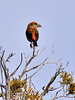 Crossbill, Red. Coconino County, Arizona. #1129.552.
