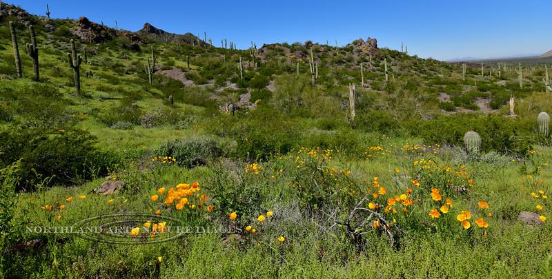 Desertscape of Mexican Poppy. 2019.3.14#018. Picacho Peak State Park Arizona.