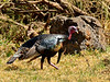 Turkey, Miriam's species. Mauna kea, Hawaii. #26.494. 3x4 ratio format.