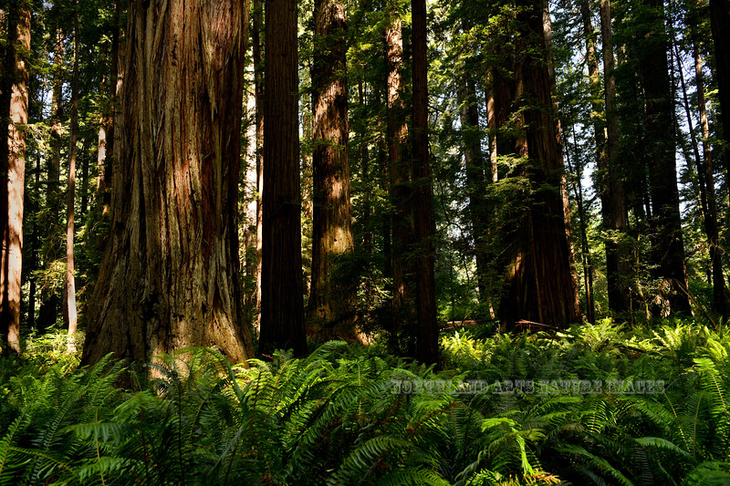 2021.6.20#5489.3. Coastal Redwoods, Sequoia sempervirens surrounded by Sword Ferns. In the Stout Grove of the Jedediah Smith Redwood State Park, California.
