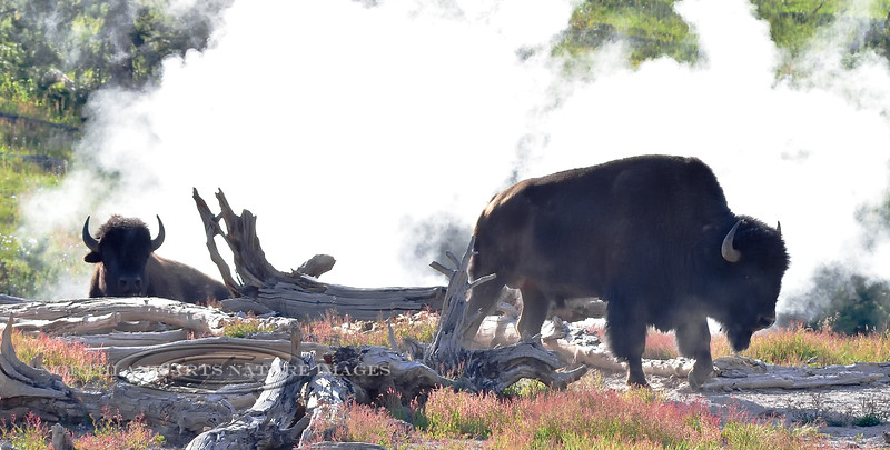 Plains Bison 2018.7.4#1037. A couple of bulls I found hanging right in the steam of a Sulphur Cauldron. Yellowstone Park Wyoming.