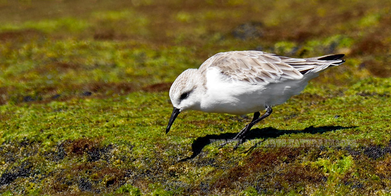 Sanderling. Kona coast, Hawaii. #27.407. See the Bird Gallery of the Lower 48 and Hawaii for more Bird images.