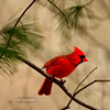 Cardinal, Northern. Bucks County, PA. #114.887.