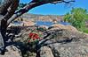 The Scarlet Hedgehog cactus 2020.4.27#0494.4. Echinocereus coccineus. Watson lake in the Prescott Dells, Arizona.