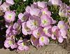 Pinkladies 2021.5.31#0788.2. Oenothera speciosa. Growing near Yavapai Lake Prescott Valley Arizona