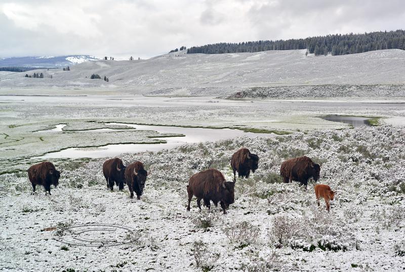 Plains Bison 2019.6.21#235. Hayden Valley, Yellowstone Park Wyoming.
