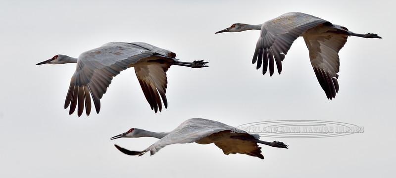 Sandhill Cranes. 2019.11.10#501. Flying over the Bosque del Apache, New Mexico.