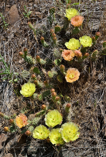 Opuntia polyacantha 2015.5.26#397. The Prairie species of Prickly Pear Cactus. This plant was growing several thousand feet above the Salmon River near the small town of White Bird, Idaho. See the Flora of the Lower 48 Gallery to view many more plant images.