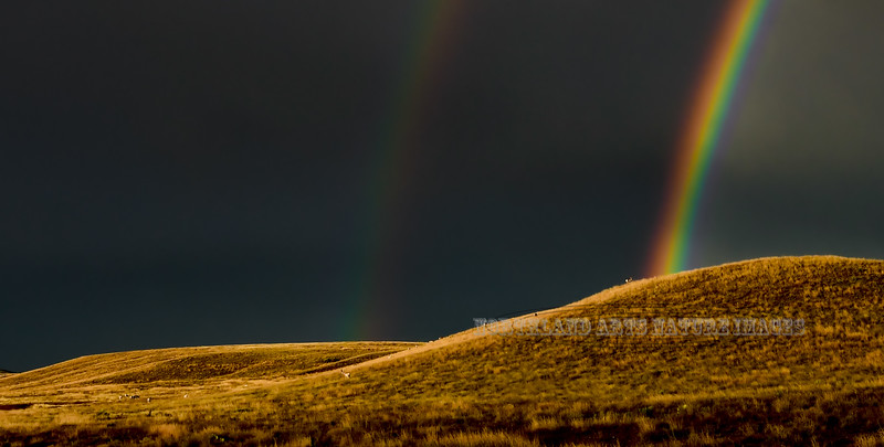 Pronghorn Antelope and Rainbow 2018.10.13#024. Pronghorns grazing under thick clouds in a heavy rain as the setting sun breaks through a hole. Yavapai County Arizona.