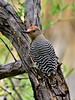 Gila Woodpecker 2018.4.19#119. A mature male. Hassayampa, Arizona.