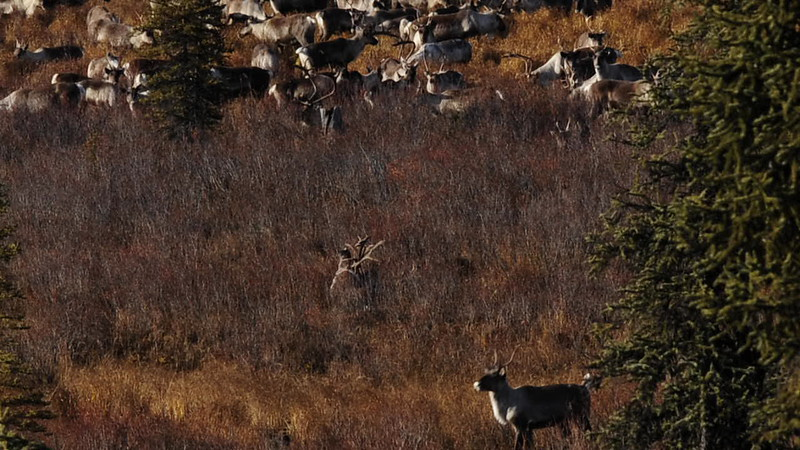 A short video of two Caribou bulls locked up 2011.10.5#005.  Denali Country Alaska. See the caribou section of the large Mammal gallery for more images of this event.