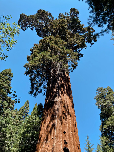 2021.6.21#0963.3. The General Grant Giant Sequoia, Sequoiadendron giganteum. In the Grant Grove of King's Canyon Nat. Park, California.