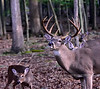 A really great Eastern Whitetail buck with a group of does. 2020.9.25#5091.2. Penn's Woods, Pennsylvania.