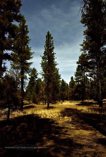 AZ-2017.11.28#115. Moon shadows in the Kaibab Forest. Coconino County, Arizona.