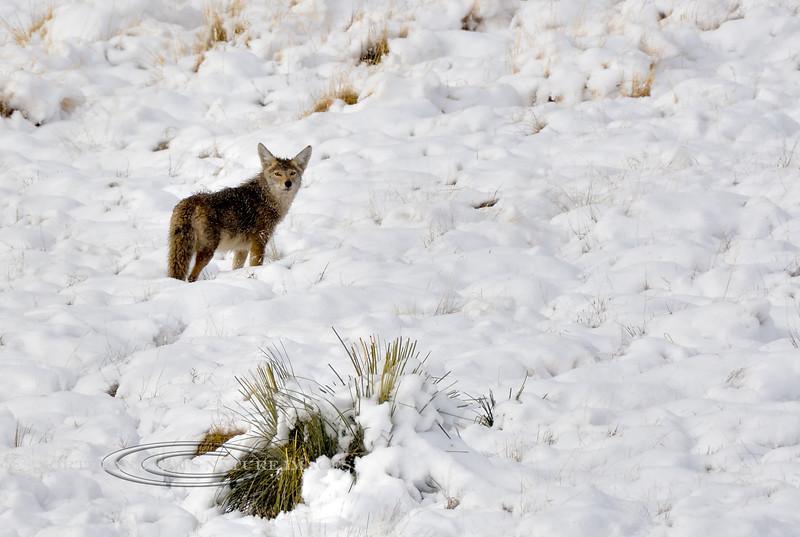 Coyote 2018.2.28#146. Near Prescott Valley, Yavapai County Arizona.