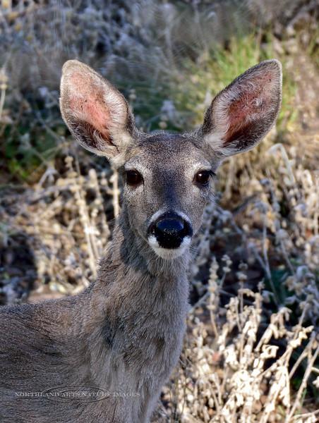Coues Whitetail Deer 2018.4.29#059. Mingus mountain, Yavapai County Arizona.