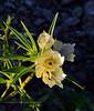 The Ghost flower 2020.3.5#7086.2. Mohavea confertiflora. Near the North Star Mine, north of King Valley in the Kofa Nat.Wildlife Refuge Arizona.