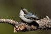 Pygmy Nuthatch 2017.11.28#187. Kaibab Forest, Coconino County, Arizona.