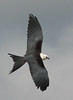 American Swallow-tailed Kite in SE  Georgia  8-3-2012