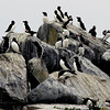 Machias Seal Island rookery-5