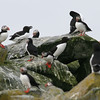 Machias Seal Island rookery-4