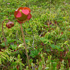 pitcher plant- Quoddy Head- ME- June 2008