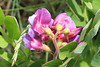 Legume flowerlets
