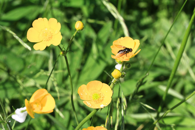 Buttercups with black bee
