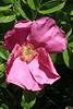 Rosa blanda (wild rose)