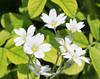 Monhegan Island flowers (2)